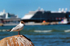 Seagull on a sea shore against big cruise ship in background Stock Photos