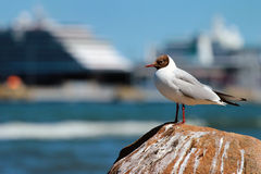 Seagull on a sea shore against big cruise ship in background Stock Photography