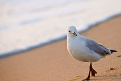 Seagull on sea shore or river bank Royalty Free Stock Photo