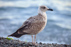 Seagull on the sea shore. Stock Photos