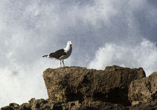 Seagull with sea spray. Seagull perched on a rock with sea spray behind royalty free stock photos