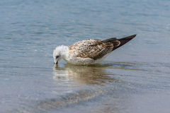Seagull in the sea Stock Photography