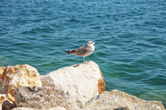 Seagull at the sea Royalty Free Stock Images