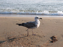 Seagull and the sea Royalty Free Stock Photos
