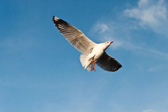 Seagull. On sea in thailand Stock Photo