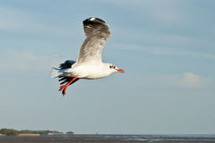 Seagull. In sea of thailand Stock Image