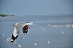 Seagull of  sea Royalty Free Stock Images