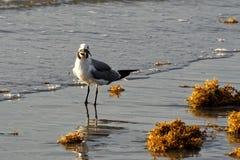 Seagull with Sea Turtle in Beak. Seagull standing in surf with sea turtle in beak Stock Photo