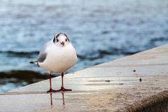 A seagull on a sea wall Stock Photography