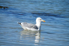 Seagull in sea water Royalty Free Stock Photo