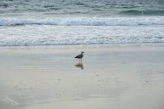 Seagull seabird Srebny frajera seabird odprowadzenie wzdłuż plaży w popołudniu z zamazanym fala i morza tłem samotność obraz royalty free