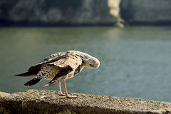 Seagull seagull cleans its feathers, Porto, Portugal. Royalty Free Stock Photography
