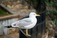 Seagull. Resting near the sea Stock Photography