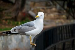 Seagull. Resting near the sea Royalty Free Stock Image