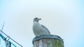 Seagull. Sitting on the wood on the northsea coast in Cuxhaven, Germany Stock Images