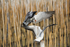 Seagull. S fight pecking on a bamboo stump Royalty Free Stock Photo