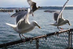 Seagull. S sitting on fence looking down for food stock photo