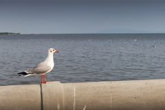 Seagull standing alone looking out to sea. S standing on the pier looking out to the sea, bird, nature, wildlife, white, animal, ocean, fly, sky, wing, feather stock photo