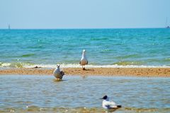 Seagull. S walking along the seashore Royalty Free Stock Images