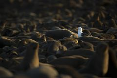 Seagull in a seal colony. Cape Cross, Namibia. Looking for food. Many seals around royalty free stock images