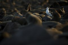 Seagull in a seal colony. Cape Cross, Namibia royalty free stock photos