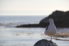 Seagull with Seal Island Stock Images