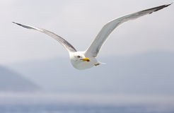 Seagull in search of fish Stock Photos