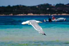 Seagull. A seagull search food near the beach Royalty Free Stock Photo