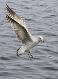 Seagull Searching for Aquatic Feeding Opportunities Royalty Free Stock Photos