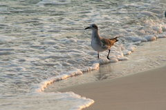 Seagull at Seashore. A seagull walks through a frothy shore Royalty Free Stock Photo