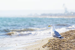 Seagull on the seashore Royalty Free Stock Photos