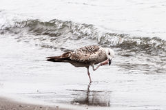 Seagull on the seashore Stock Image