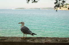 Seagull on seashore Royalty Free Stock Photography