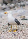 seagull seashore obsiadanie Fotografia Stock