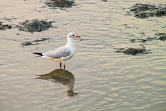 Seagull on the seashore. Royalty Free Stock Photo