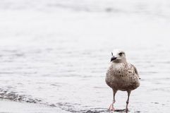 Seagull on the seashore Stock Images