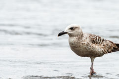Seagull on the seashore Royalty Free Stock Photo