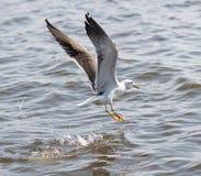 Seagull seaside bird flying above blue sky,. Landing Stock Photo