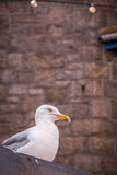 Seagull on the seaside Royalty Free Stock Image