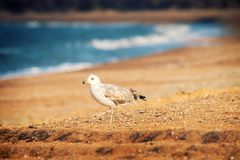 Seagull is on seaside - symbol of sea. The White-headed gull (Larus cachinnans pontisus) on Black sea, first summer plumage (1 year age) portrait stock photos