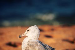Seagull is on seaside - symbol of sea. The White-headed gull (Larus cachinnans pontisus) on Black sea, first summer plumage (1 year age) portrait stock photo