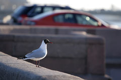 Seagull seating on the granite embankment Stock Photography