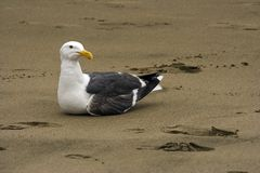 Seagull seating on the sand Royalty Free Stock Photo