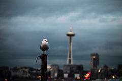 Seagull with Seattle in background Royalty Free Stock Photo