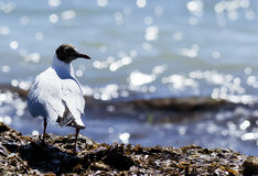Seagull on seaweed Stock Photography