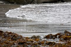 Seagull in seaweed. Single Seagull standing in surf surrounded by seaweed at Doolin, County Clare, Ireland Royalty Free Stock Photos