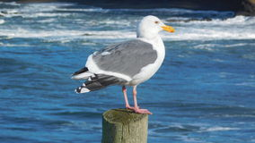 Seagull sentgry Royalty Free Stock Image