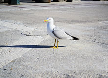 Seagull with shadow Stock Photos