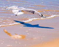 Seagull shadow and reflection Stock Photography