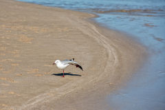 Seagull on shark bay beach Royalty Free Stock Image